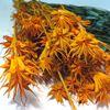 Obrázek z Nigella orientalis (svazek)