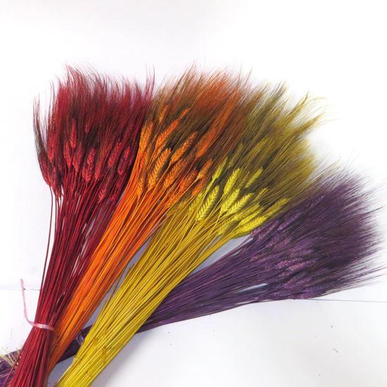 Picture of Grano triticum (pšenice) - barevná (svazek)