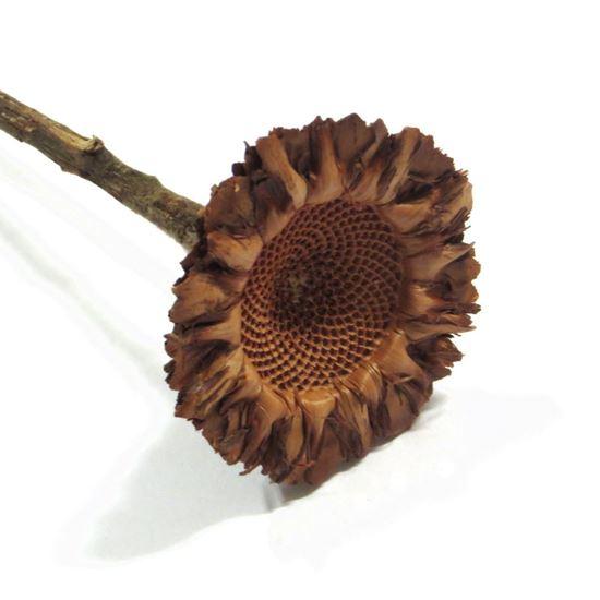 Obrázek z Protea coronata (5ks)